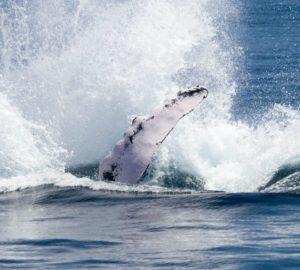 balene jorobadas
