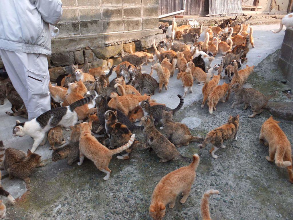 gatto-Aoshima e Tashirojima, Giappone